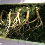 Ginseng Coreano and Its Benefits for Your Body and Mind