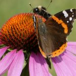 How Much Do You Know about Echinacea Purpurea?