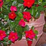 How to Overwinter Mandevilla Plants