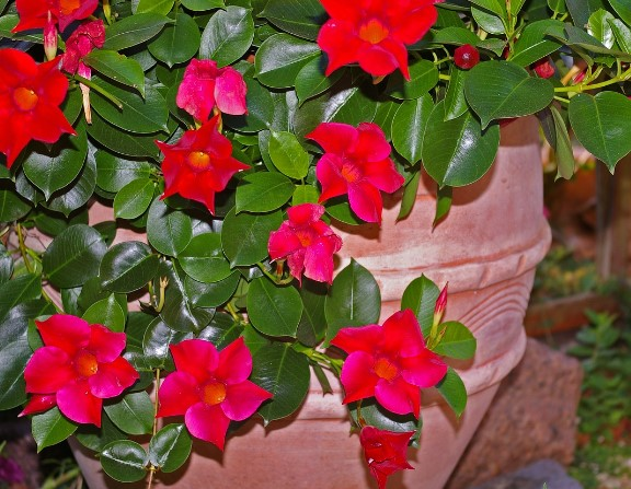 How to Overwinter Mandevilla Plants